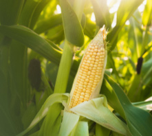 Agriculture contamination and rodent detection